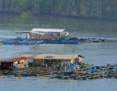 Better aquaculture management rewards Malaysia's fish farmers